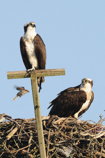 Ospreys around Lazy Point. Photo courtesy of Carl Safina.