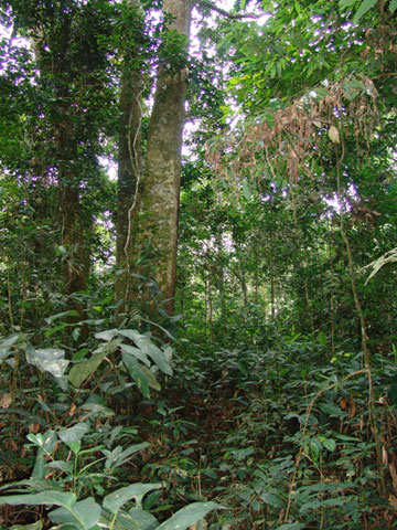 The dense forest of Salonga National Park. Photo by: Zoological Society of Milwaukee (ZSM).