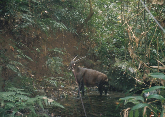 One of the only photos of a saola in the wild. Photo taken by cameratrap in 1999. Photo courtesy of William Robichaud.