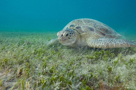 A green turtle (Chelonia mydas) grazes on seagrass in Brazil's Abrolhos region. Photo: © Luciano Candisani/iLCP.