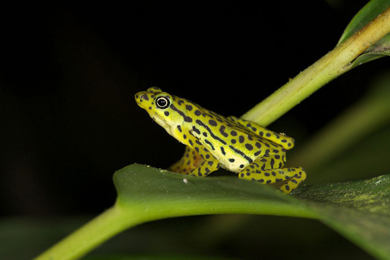 The rediscovered Rio Pescado Stubfoot Toad (<i>Atelopus balios</i>) was number 6 in the 100 Lost Frogs. Photo: © Eduardo Toral-Contreras.