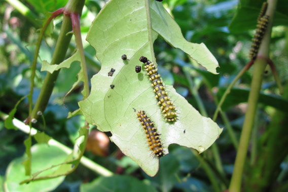 >Moth larvae munching on a host plant. Photo by: Catherine Craig.