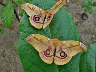 Silk producing moth Antherina surak. Photo by: Catherine Craig.