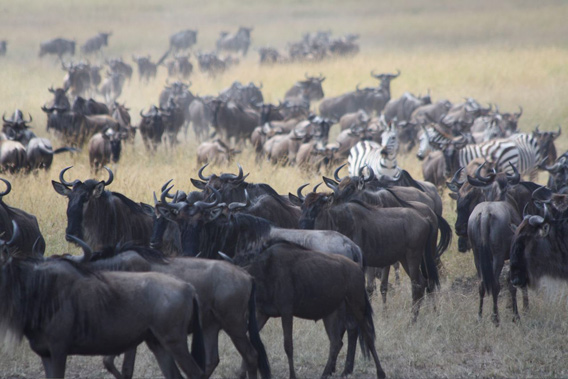 Migrating wildebeest and zebra. Photo by: Jan Martin McGuire.