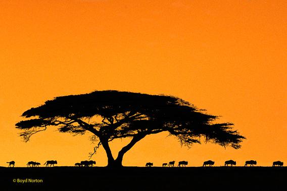 Serengeti scene. Photo by: Boyd Norton, co-founder of Serengeti Watch.