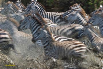 Serengeti zebras migrating. Photo by: Boyd Norton, co-founder of Serengeti Watch.