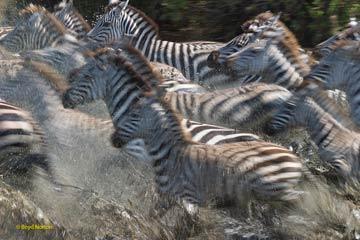 Serengeti zebras migrating. Photo by: Boyd Norton, co-founder of Serengeti Watch.