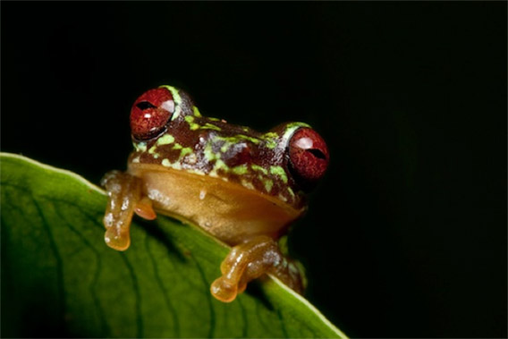 Critically Endangered Red-eyed Stream Frog (Duellmanohyla uranochroa). Photo by Robin Moore/robindmoore.com.