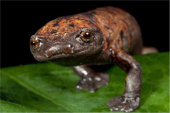 Giant Palm Footed Salamander (Bolitoglossa dofleini). Photo by Robin Moore/robindmoore.com
