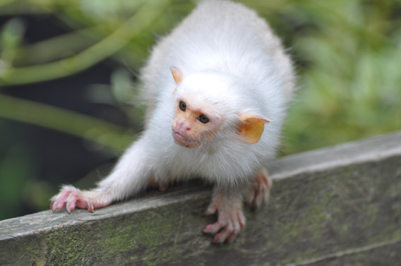 Silvery marmoset. Photo courtesy of ZSL.