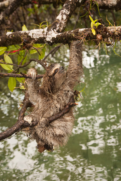 Pygmy sloth. Photo courtesy of ZSL.