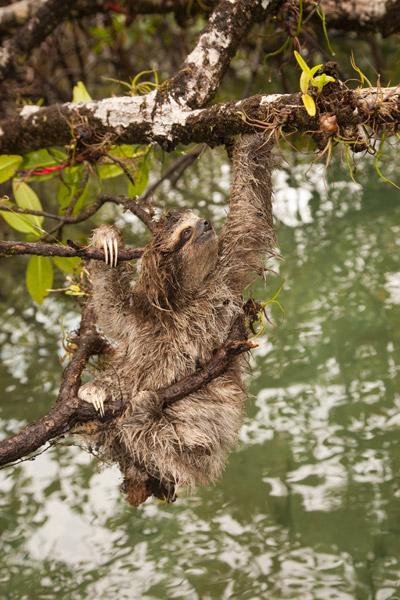 Pygmy sloth. Photo courtesy of ZSL.