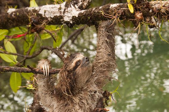 More pygmy sloth. Photo © Craig Turner/ZSL.