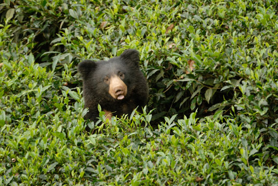A sloth bear peeks out of a tea crop.