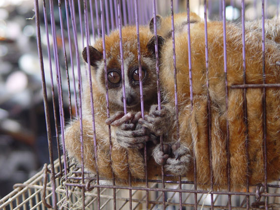 Slow lorises, like these caged individuals, are imperiled in Southeast Asia for the illegal pet trade. In the wild, traders kill loris parents to take their babies. Pet lorises have their teeth pulled out to make them appear 'cuter'. Photo courtesy of the Wildlife Conservaiton Society (WCS).