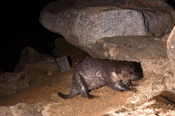 The world's smallest otter: the small-clawed otter is listed as Vulnerable by the IUCN Red List. This individual was caught on a camera-trap.