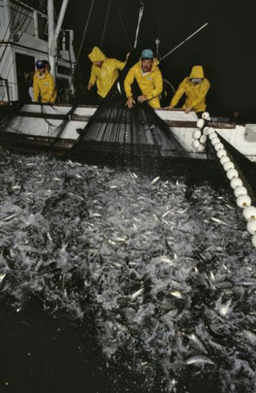 Sardine fishermen haul in a net in Monterey Bay, California. Photo by Jonathan Blair / © Monterey Bay Aquarium.