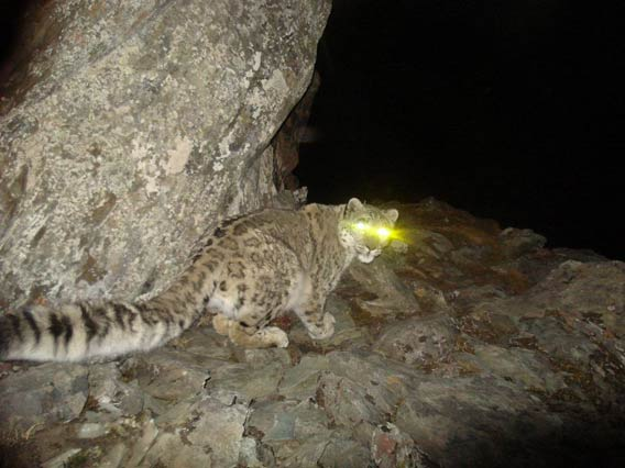 Snow leopard (Panthera uncia) in China. The snow leopard is classified as Endangered by the IUCN Red List. Photo credit: Smithsonian.