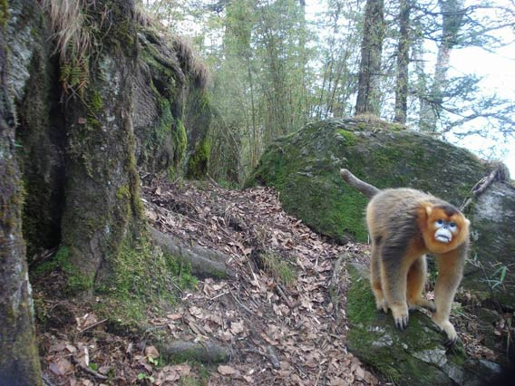 Golden snub-nosed monkey in China caught by camera trap. This species is listed as Endangered by the IUCN Red List. Photo credit: Smithsonian.