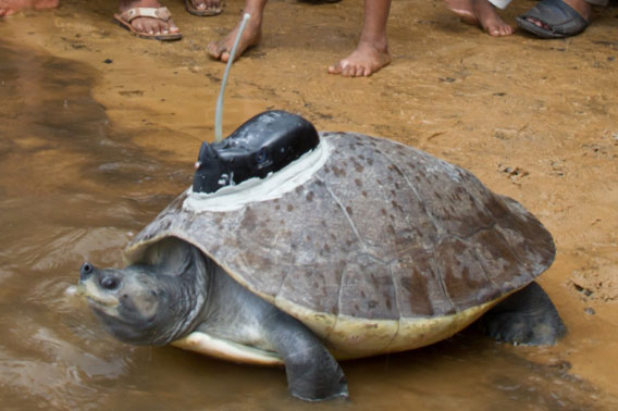 Weighing around 75 pounds (34 kilograms) conservationists hope to follow the movements of this southern river terrapin. Photo by: Eleanor Briggs.