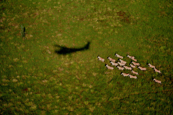 Oryx and WCS Cessna shadow, Boma National Park. Photo by Paul Elkan and J. Michael Fay. ©2007 National Geographic/ Wildlife Conservation Society.