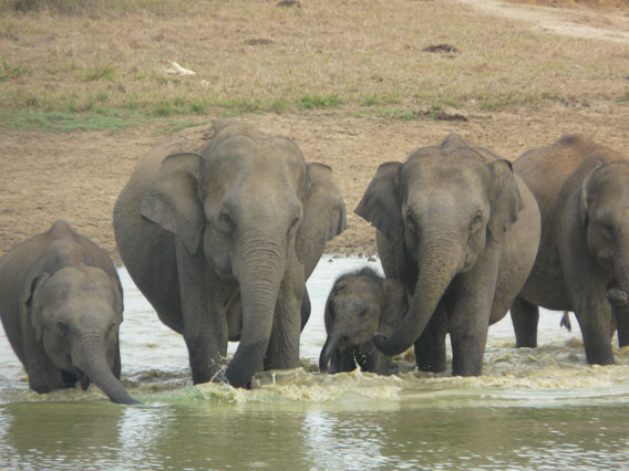 Sri Lankan elephants are imperiled by habitat loss. Photo by: Anonymous Source.
