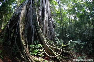 Strangler fig in Sulawesi. Photo by: Rhett A. Butler.