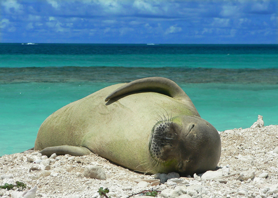 The Critically Endangered Hawaiian monk seal (<i>Monachus schauinslandi</i>). Photo courtesy of Dash Masland.&#8221;><br /> <i>The Critically Endangered Hawaiian monk seal (<i>Monachus schauinslandi</i>). Photo by: Brenda Becker.</i></p> <p>Dashiell Masland, known as &#8216;Dash&#8217;, has always been in love with the sea and its inhabitants. Now, she is hoping to take that passion to the Hawaiian Islands to save one of the world&#8217;s most threatened marine mammals: the Hawaiian monk seals (<i>Monachus schauinslandi</i>). Extinction is a real possibility: already, the related Carribbean monk seal vanished forever around 1950. Decimated by sealers, whalers, and even soldiers in World War II, the Hawaiian monk seals are struggling to make a come back with only 1,100 individuals surviving and the population decreasing by 4% a year. Today many face starvation due to a lack of prey. This is where Masland, who is currently competing in National Geographic&#8217;s <a href=