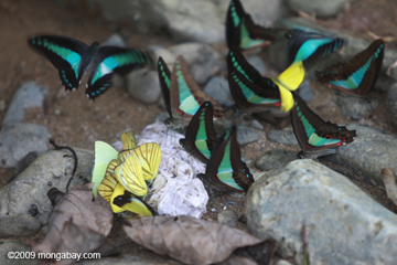 In the hugely imperiled tropical rainforests of Sumatra, diverse species of butterflies feed on ground nutrients. Photo by: Rhett A. Butler.