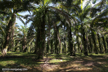 A palm oil plantation on the island of Sumatra in Indonesia. Such plantations may look like 'forest,' but Gorshkov and Makarieva argue that the biotic pump doesn't work over monoculture plantations as well as over natural forest. Photo by: Rhett A. Butler.