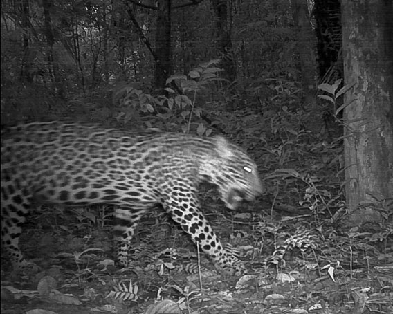 Camera traps captured a jaguar (Panthera onca) on the prowl. Jaguars are sit-and-wait predators, pouncing on unsuspecting victims, which may include such large mammals as tapirs and deer, from low branches. Despite their reputation, jaguars rarely, if ever, attack humans and far more jaguars have been hunted by people than the other way around. Photo by © Conservation International Suriname.