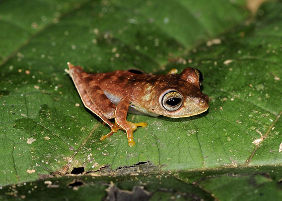 A possible new species of frog: Hypsiboas sp. (nickname