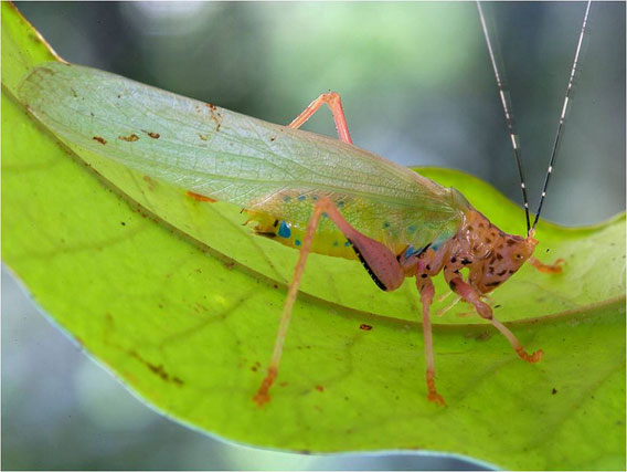 A potentially new species of katydid (Vestria sp.). Four species of this genus are known from lowland forests of Central and South America. These insects, nicknamed Crayola katydids because of their striking coloration, are the only katydids known to employ chemical defenses, which are effective at repelling bird and mammalian predators. Photo by © Piotr Naskrecki.