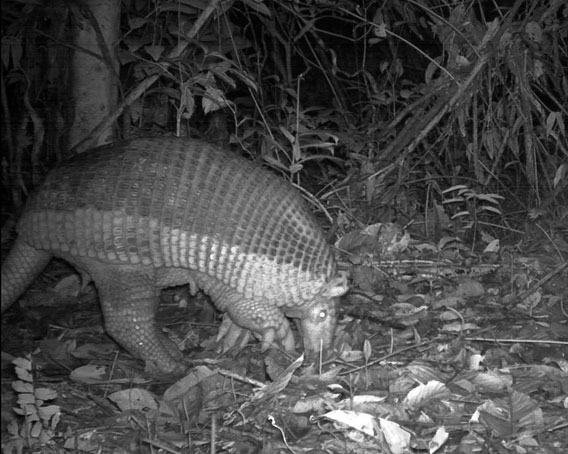 Despite its large size and heavy body armature, the Giant Armadillo (Priodontes maximus) is a gentle animal, feeding primarily on termites and ants, which it digs out from underground nests using its huge claws. Giant armadillos are rarely seen due to their nocturnal habits, but their huge burrows are a common sight in the forests of Kwamalasamutu. This species is declining across its range in South America, primarily as a result of excessive hunting and habitat loss. Photo by © Conservation International Suriname.