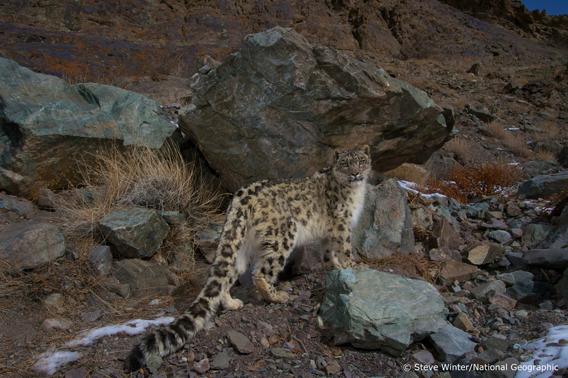 Wild snow leopard. Photo © Steve Winter/National Geographic.