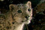 Camera trap catches snow leopards in Mongolia