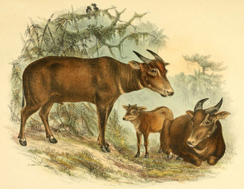 Illustration of the tamaraw.