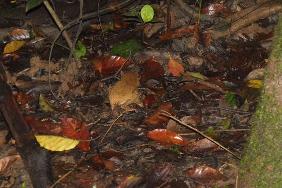 Lad, found the following night, hunting insects on the ground. Photo courtesy of Danau Girang Field Centre (DGFC).