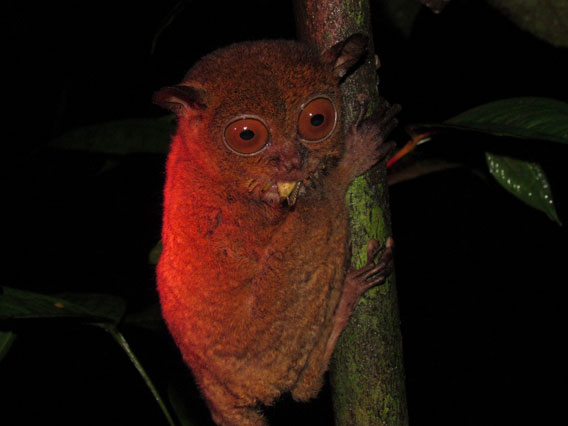 A rescued Horsfield's tarsier named Lad, shortly after being released, eating an insect. Photo courtesy of Danau Girang Field Centre (DGFC).