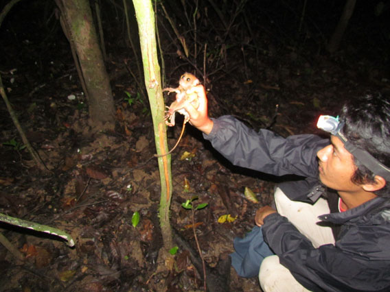 Research field assistant, Saroto bin Payar, releasing the male tarsier in the forest. Payar first found the tarsier in the palm oil plantation after being tipped off by his father. Photo courtesy of Danau Girang Field Centre (DGFC).