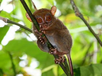 Philippine tarsier. Photo courtesy of: Nathaniel Dominy.
