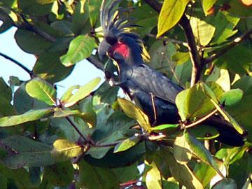 Palm cockatoo feeding on nuts: Misool island, Raja Ampat. Photo: Dmitry Telnov, 2009.