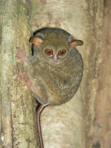 Tarsius spectrum in Tangkoko National park, North Sulawesi. This National park is being slowly logged out by surrounded villagers. Photo by: Dimtry Telnov, 2007.