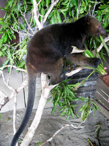 A captive Tenkile tree kangaroo. Photo courtesy of Jim Thomas.