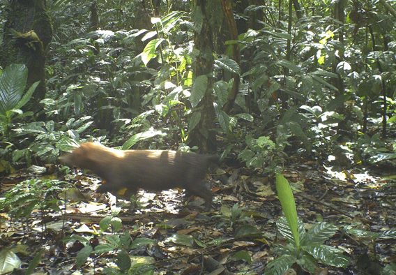 The cryptic and rare bush dog. Photo courtesy of TBS.
