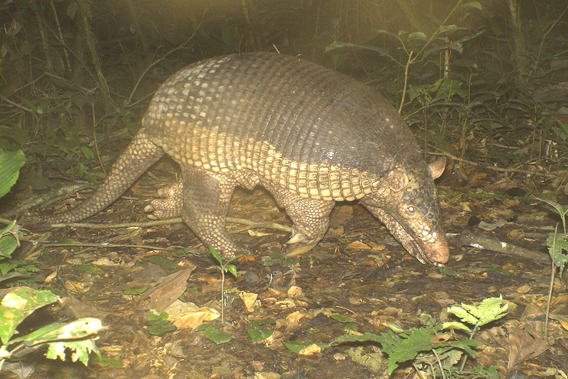 A giant armadillo (Priodontes maximus), about the size of a medium-large sized dog,  on camera trap at TBS. Photo courtesy of TBS.