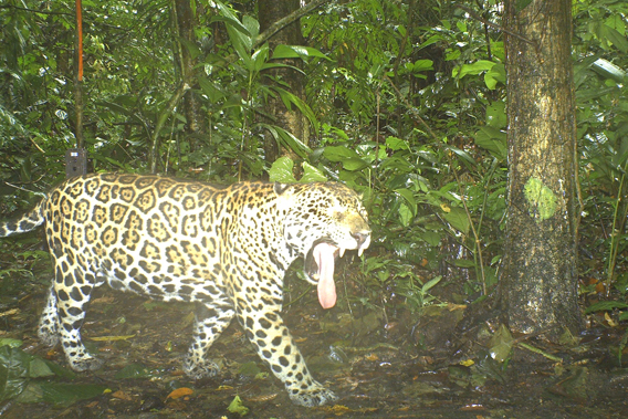 Another jaguar. Photo courtesy of TBS.
