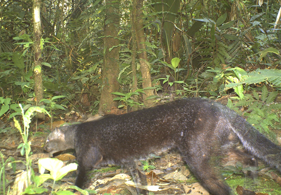 A jaguarundi. Photo courtesy of TBS.