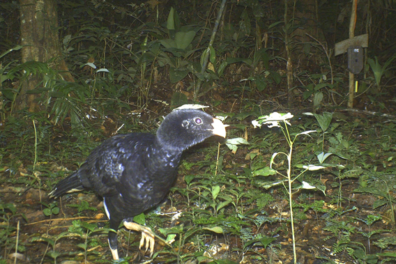 Salvin's currasow. Photo courtesy of TBS.