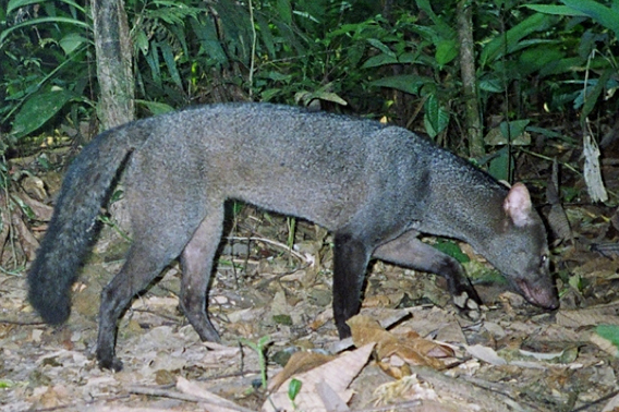 One of the Amazon's most elusive and least-known mammals, the short-eared dog (Atelocynus microtis), captured on camera trap by the Tiputini Biodiversity Station (TBS). Photo courtesy of TBS.
